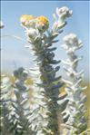 Achillea maritima (L.) Ehrend. & Y.P.Guo