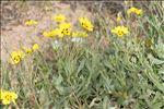 Cistus halimifolius L.