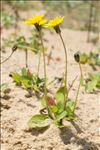 Photo 3/4 Sonchus bulbosus (L.) N.Kilian & Greuter