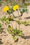 Sonchus bulbosus (L.) N.Kilian & Greuter