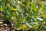 Sonchus bulbosus (L.) N.Kilian & Greuter subsp. bulbosus