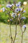 Photo 5/5 Lactuca plumieri (L.) Gren. & Godr.