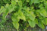 Photo 4/5 Lactuca plumieri (L.) Gren. & Godr.
