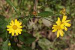 Jacobaea erratica (Bertol.) Fourr.