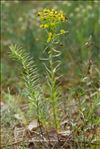 Euphorbia seguieriana Neck.