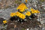 Jacobaea uniflora (All.) Veldkamp