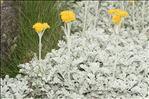 Jacobaea leucophylla (DC.) Pelser
