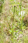 Photo 3/4 Tragopogon porrifolius L. subsp. porrifolius