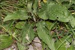Photo 2/6 Cynoglossum montanum L.