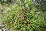 Kalmia procumbens (L.) Gift, Kron & P.F.Stevens ex Galasso, Banfi & F.Conti