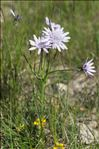 Photo 5/5 Podospermum purpureum (L.) W.D.J.Koch & Ziz