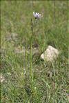 Photo 4/5 Podospermum purpureum (L.) W.D.J.Koch & Ziz