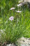 Photo 3/5 Podospermum purpureum (L.) W.D.J.Koch & Ziz