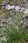Podospermum purpureum (L.) W.D.J.Koch & Ziz