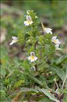 Euphrasia officinalis L.