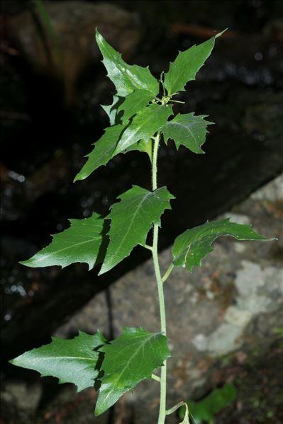 Arabidopsis cebennensis (DC.) O'Kane & Al-Shehbaz