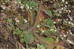 Micranthes clusii (Gouan) Fern.Prieto, V.Vázquez, Vallines & Cires.