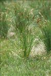 Patzkea paniculata subsp. spadicea (L.) B.Bock