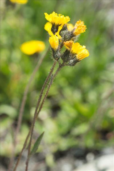 Pilosella glacialis (Reyn.) F.W.Schultz & Sch.Bip.
