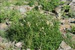 Photo 4/4 Aconogonon alpinum (All.) Schur