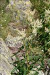 Photo 1/4 Aconogonon alpinum (All.) Schur