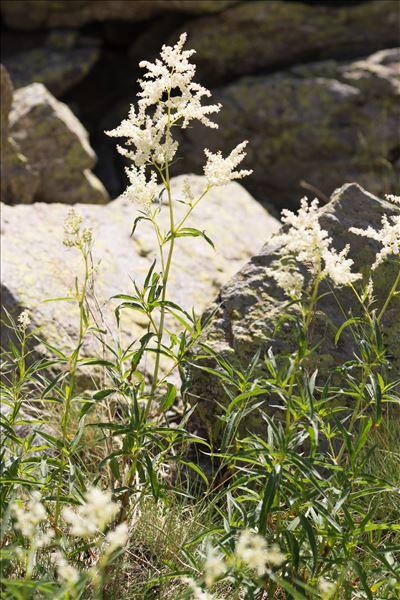 Aconogonon alpinum (All.) Schur
