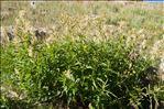 Photo 3/4 Aconogonon alpinum (All.) Schur