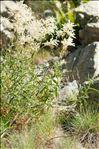Photo 2/4 Aconogonon alpinum (All.) Schur