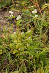 Photo 4/4 Fagopyrum esculentum Moench