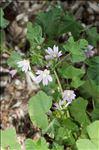 Malva multiflora (Cav.) Soldano