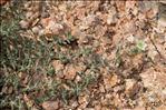 Spergula macrorrhiza (Loisel.) B.Bock & J.M.Tison