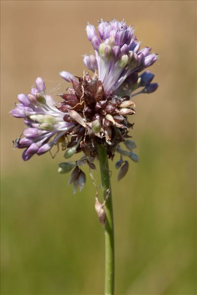 Allium vineale L.