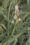 Asphodelus macrocarpus subsp. arrondeaui (J. Lloyd) Rivas Mart.
