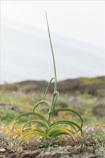 Allium commutatum Guss.