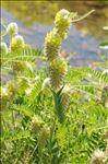 Photo 3/3 Astragalus alopecurus Pall.