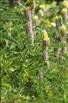 Photo 1/3 Astragalus alopecurus Pall.