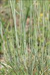 Festuca marginata subsp. laevis (Hack.) Jauzein & J.M.Tison