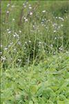 Lactuca macrophylla (Willd.) A.Gray