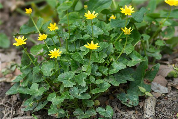 Ficaria verna subsp. fertilis (A.R.Clapham ex Laegaard) Stace