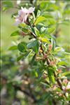 Prunus prostrata Labill.