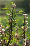 Photo 1/1 Prunus prostrata Labill.