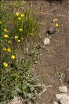 Ranunculus aduncus Gren.