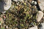 Ranunculus penicillatus (Dumort.) Bab.