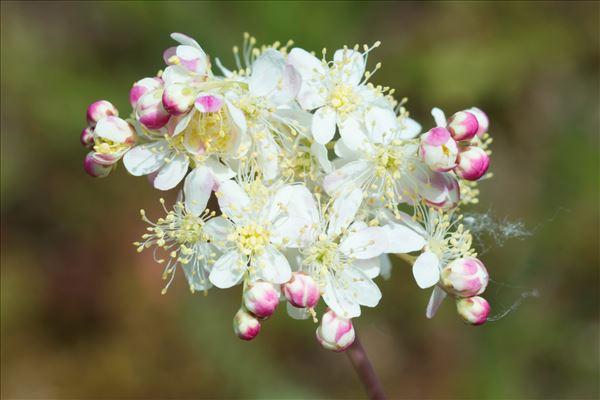 Filipendula vulgaris Moench