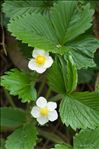 Photo 1/1 Fragaria vesca L.