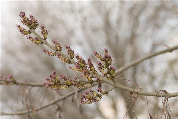 Fraxinus angustifolia subsp. oxycarpa (M.Bieb. ex Willd.) Franco & Rocha Afonso
