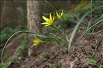 Photo 3/14 Gagea pratensis (Pers.) Dumort.