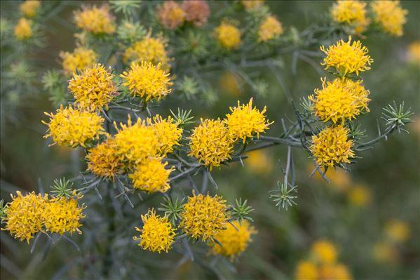 Galatella linosyris (L.) Rchb.f.