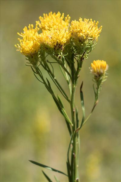 Galatella linosyris (L.) Rchb.f. var. linosyris