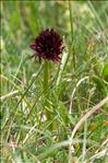 Photo 3/3 Gymnadenia nigra subsp. rhellicani (Teppner & E.Klein) J.M.Tison